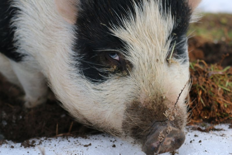 Meet Our Pigs - Noble Animal Sanctuary | Prosser, WA